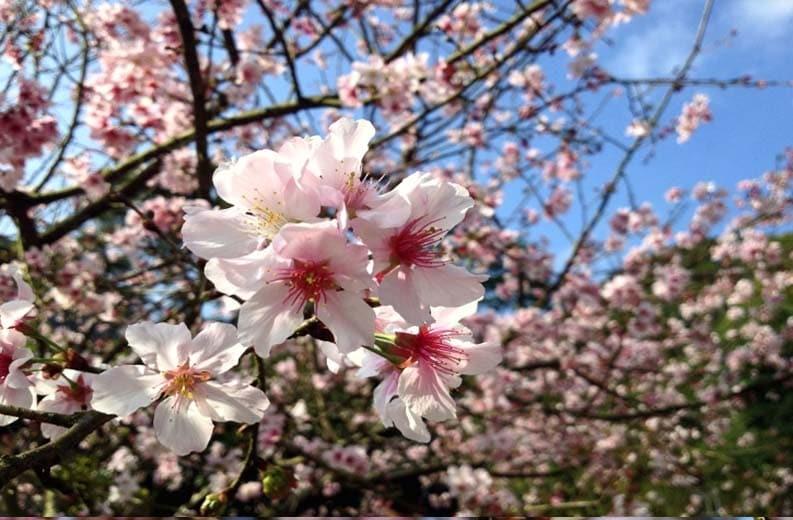 Albero di ciliegio .jpg